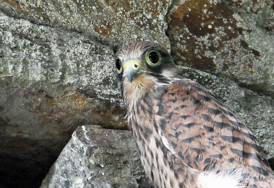 Faucon adulte au nid