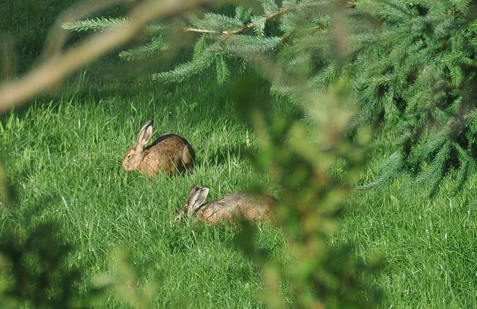 Lièvres - Sortie de printemps
